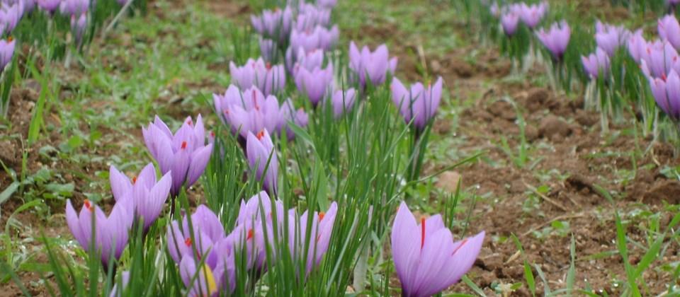 28 Mayo Jornada Tecnica El Azafran Una Alternativa De Cultivo En - Cultivo-azafran