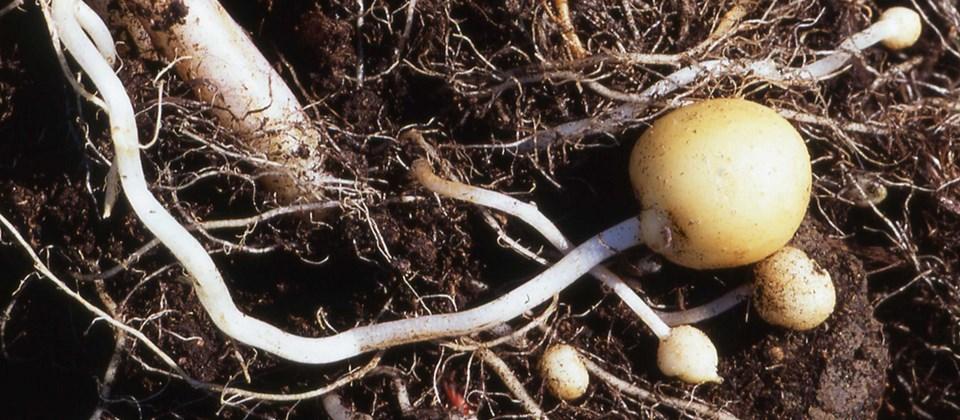 Resultado de imagen para Descubren como controla la planta de la patata la formación de ramas y estolones