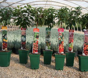 Plantas de vivero de frutales for Viveros frutales pdf