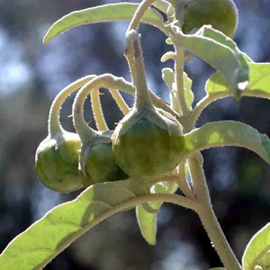 Solanum elaeagnifolium 2. Tomatito amarillo, matacaballos
