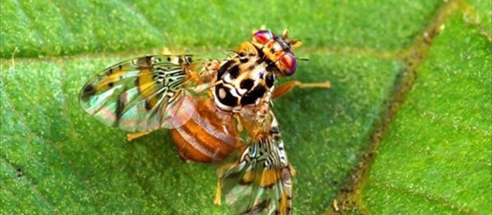 El efecto en la salud de la mosca de la fruta