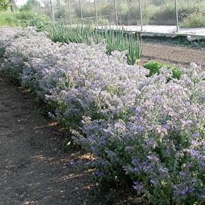 Borrajas (Borago officinalis)
