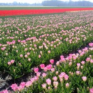 Campos para la producción de bulbos y flor cortada de tulipán cerca de Keukenhof (Paises Bajos)